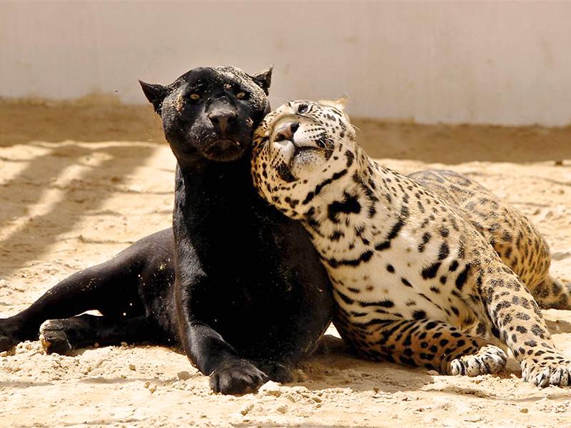 Компания «ФУНДЭКС» взяла на попечение черного ягуара