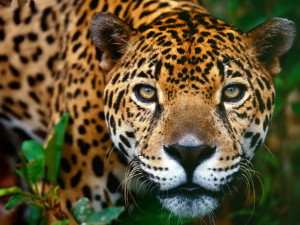 «Фундэкс» изучает характер черного ягуара Рока