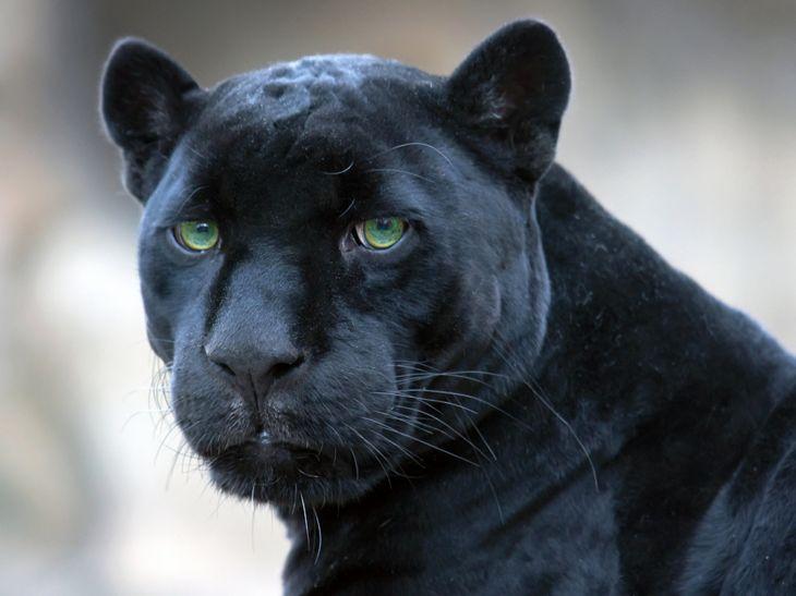 черный ягуар животное