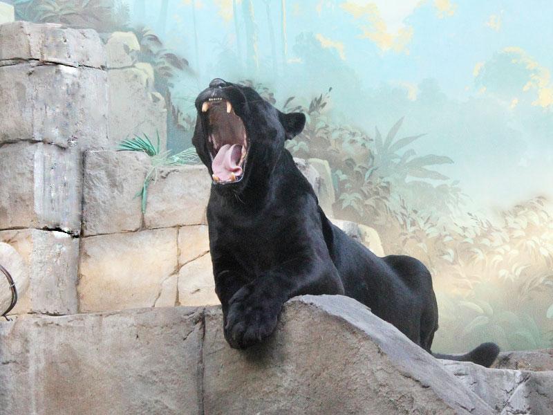 Фундэкс  поможет раскрыть таланты черного ягуара Рока