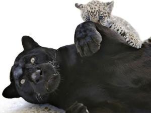 Фундэкс готовит серию мультфильмов про черного ягуара Рока