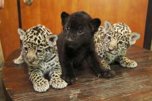 «Фундэкс» готовит подарки для детей черного ягуара Рока