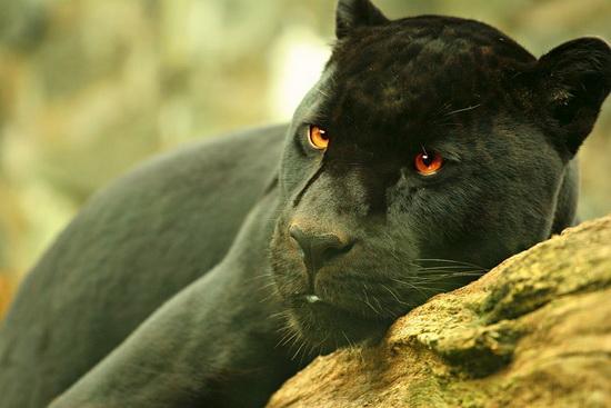 «Фундэкс» помогает черному ягуару Року переносить жару
