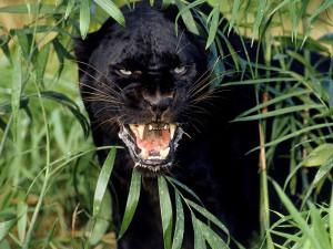 «Фундэкс» пишет летопись жизни черного ягуара Рока