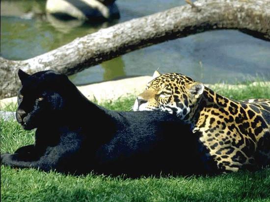 Компания «Фундэкс» готовит подарок к рождению маленьких ягуаров