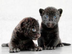 Детенышей подшефного ягуара «Фундэкс» показали публике