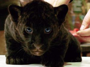 Дети Рока, подшефного ягуара «Фундэкс», завтра получат имена